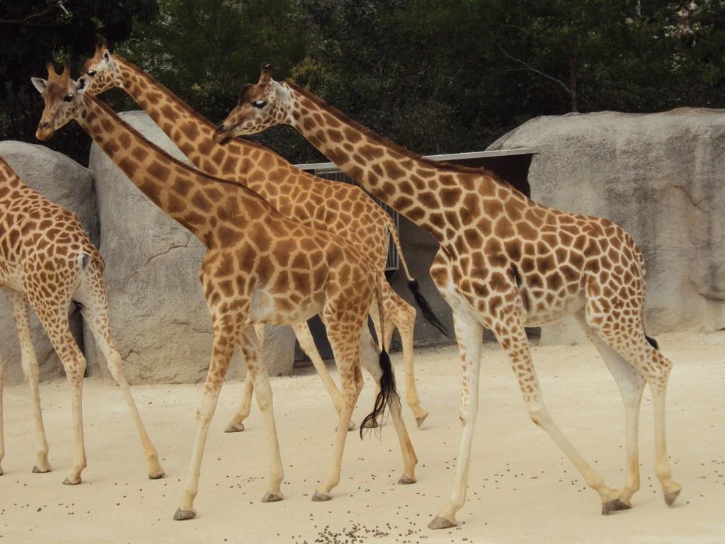 科爾多凡長頸鹿,巴黎動物園。圖片來源:Malcolm DJURIC 2017