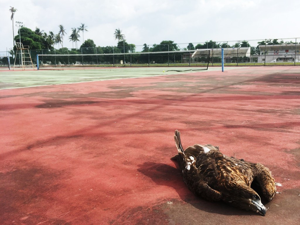 墜落在學校運動場的黑鳶。圖片來源:李文馨