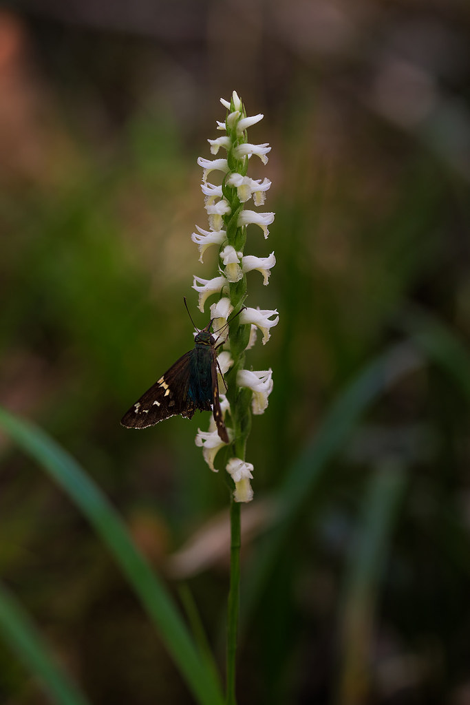 Long-tailed Skipper on Fragrant Ladies'-tresses orchid