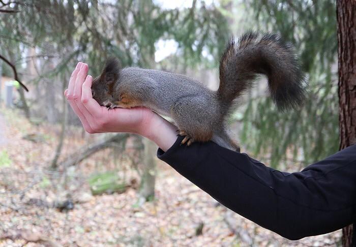 Oravien ruokintaa Seurasaaressa