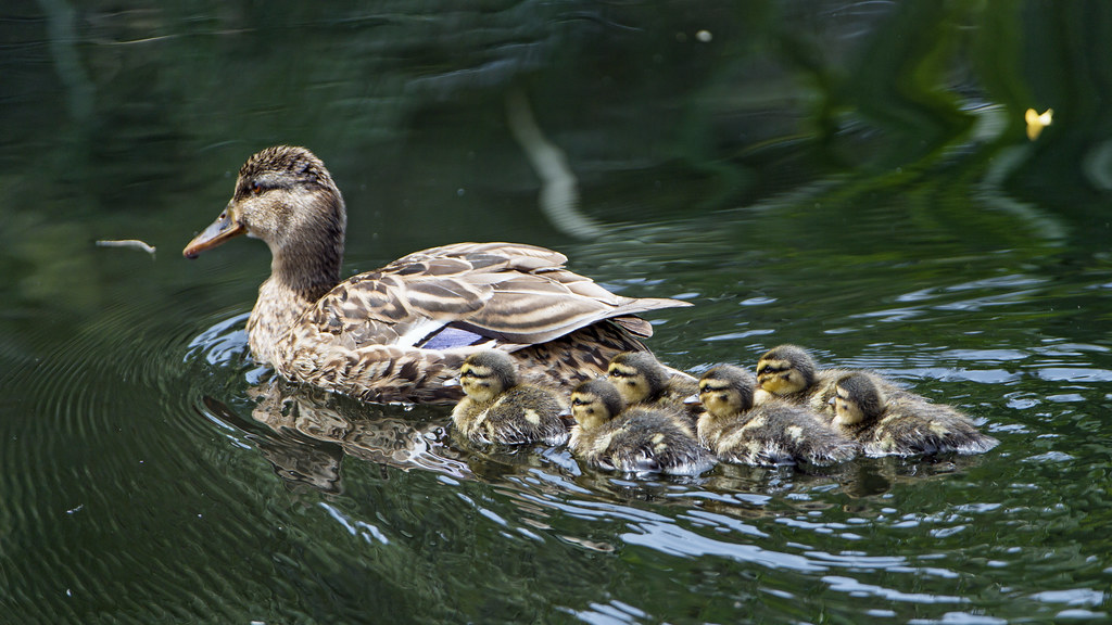Mother Duck And Ducklings A Cute Scene Photographed At