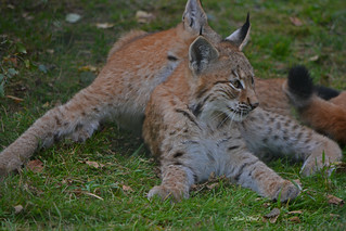 young lynxes | by Huib Smit