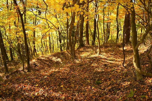 御正体山 落ち葉敷き詰められた登山道