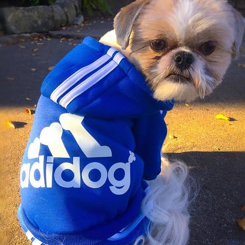 dogsofdallas Run-DOG 🐶 #shihtzu...
