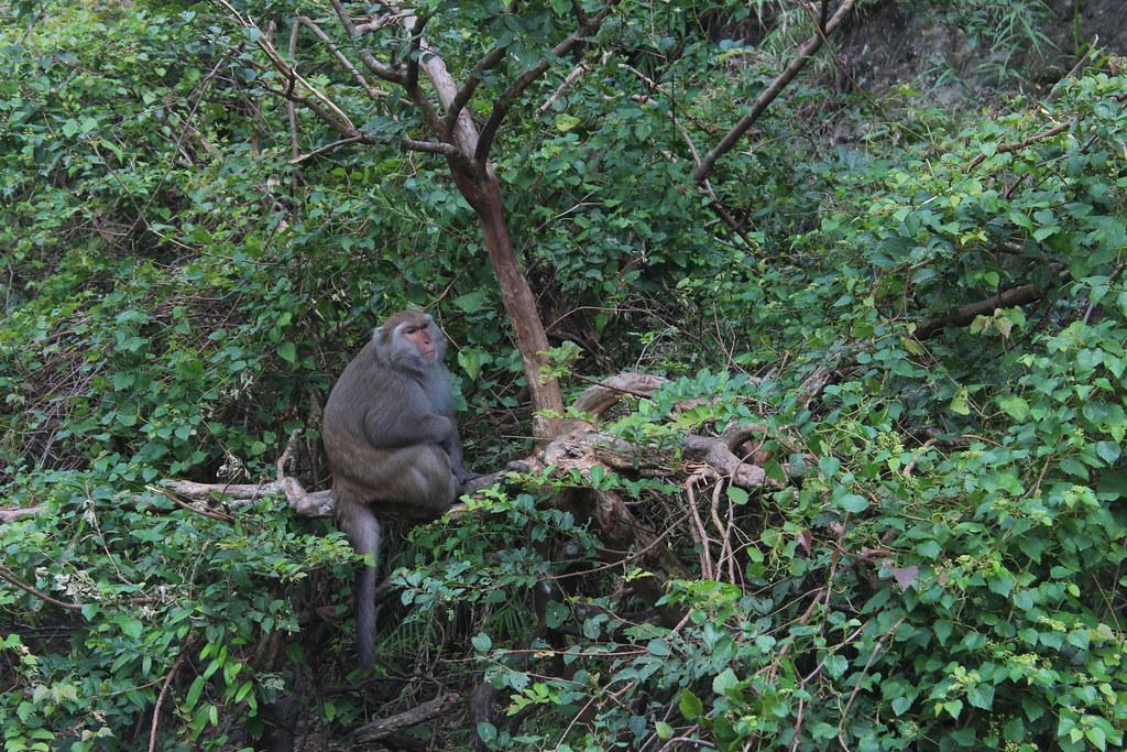 東河一帶台灣獼猴約3700隻。攝影:廖靜蕙