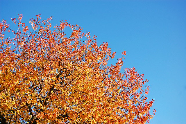 Cherry tree in autumn colours against blue sky