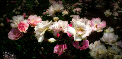 Image of Pink and White Roses from Harry P. Leu Gardens in Orlando, Florida