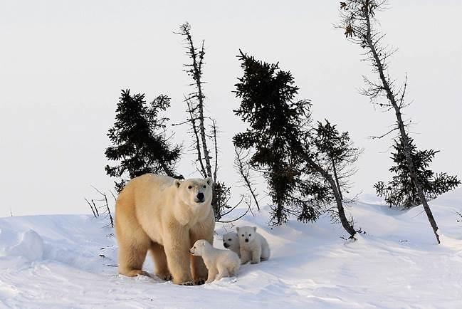北極熊帶三隻小熊,擷取自《看見真實的北極》。圖片來源:時報出版。
