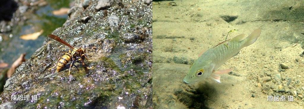 2_下溪觀察才會發現利用溪流的動物比我們想像得多:(左)黃長角蜂取水,(右)近海放流的笛鯛右魚也入溪。(攝影:(左)陳恩理,(右)周銘泰)