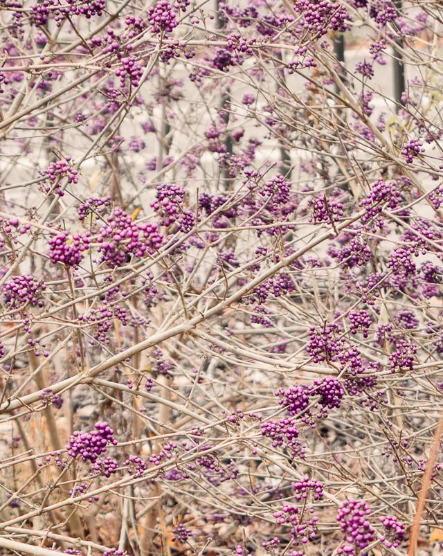 purple berries on sparse plant