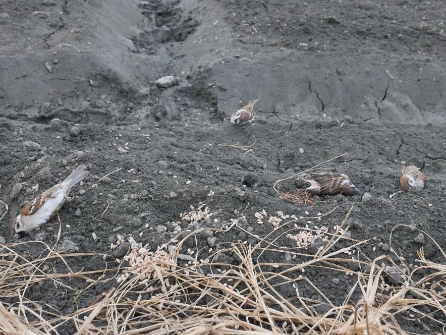 少數農民用稻穀泡加保扶作為毒餌防治鳥害。圖片來源:洪孝宇。