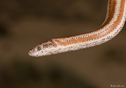 Rosy Boa (Lichanura orcutti) | by Chad M. Lane