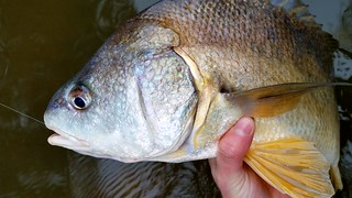 Freshwater Drum | by Isaac's Fishing Corner
