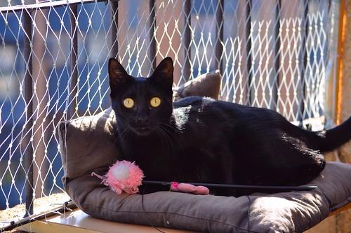 Selva, gatita Pantera guapa, estilizada y divertida esterilizada, nacida en Mayo´16, en adopción. Valencia. ADOPTADA. 38521986396_dd5d672902