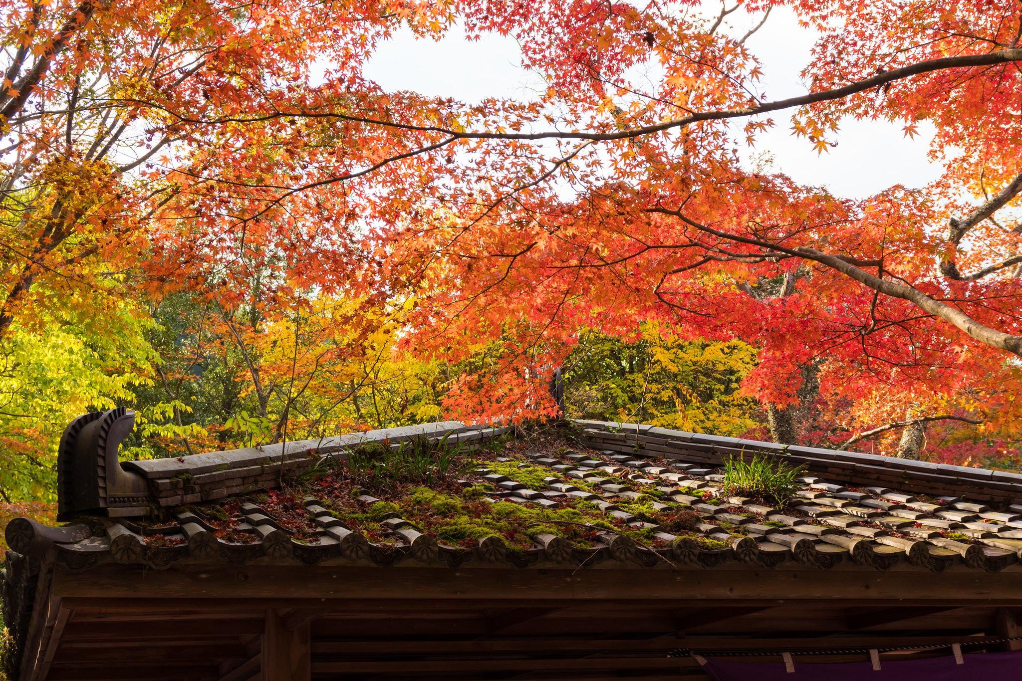 瑞宝寺公園の紅葉2