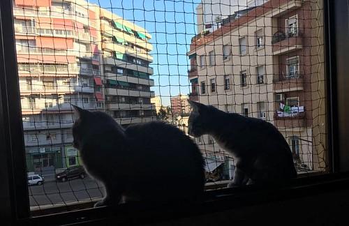 Benny, gatito Azul Ruso Tabby muy guapo y bueno, nacido en Julio´17, en adopción. Valencia. ADOPTADO. 38493501086_8fb3c1f4c0