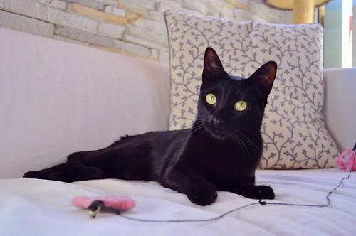 Selva, gatita Pantera guapa, estilizada y divertida esterilizada, nacida en Mayo´16, en adopción. Valencia. ADOPTADA. 38546702192_e95ff40352