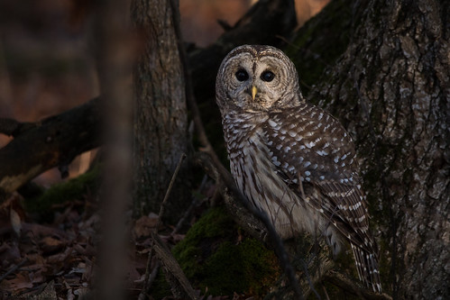 Owl In the woods | by NicoleW0000