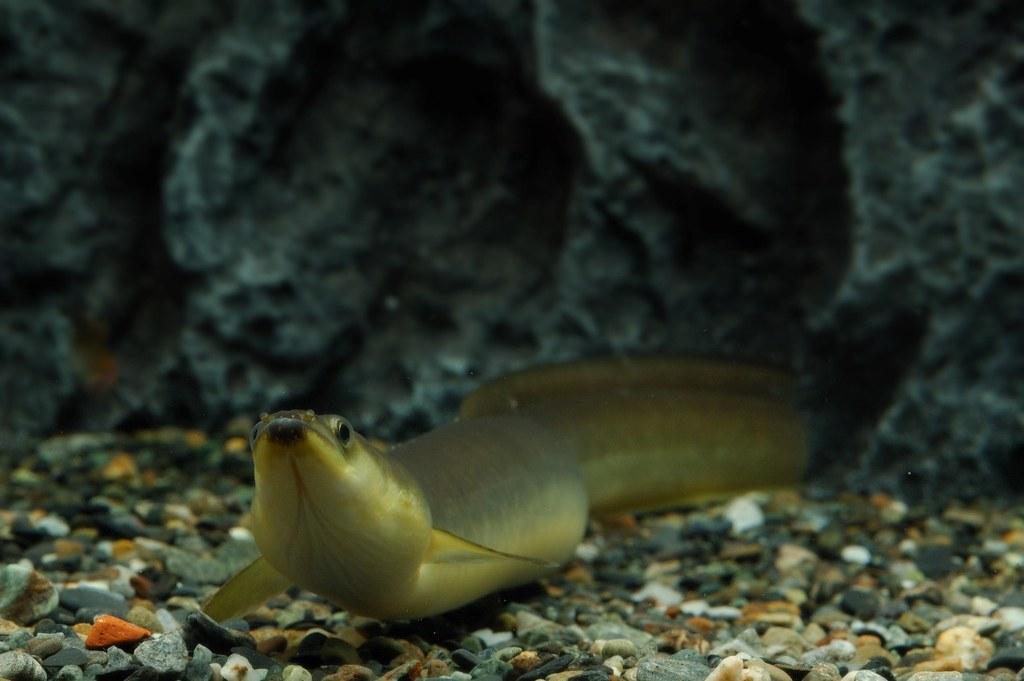 日本鰻鱺。攝影:張詠青