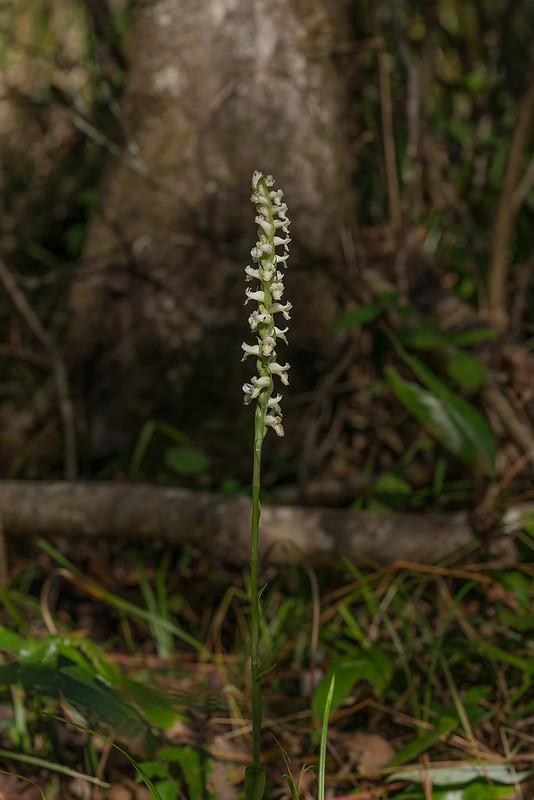 Fragrant Ladies'-tresses orchid