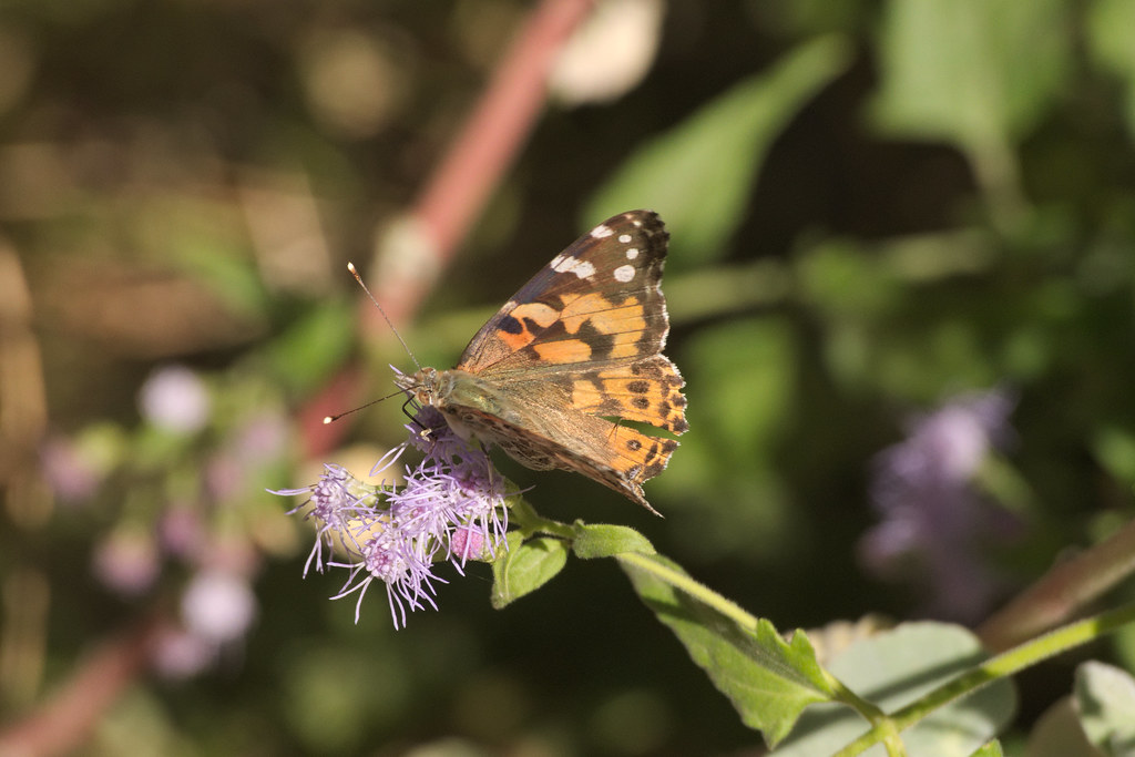 painted lady in the butterfly garden tucson botanical gar flickr