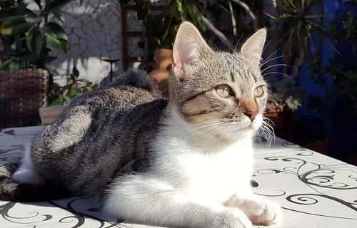 Ferb, gatito blanquipardo activo y muy cariñoso, nacido en Junio´17, en adopción. Valencia. ADOPTADO. 37772569154_883b36a0d7