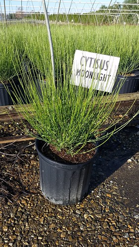 Cytisus Moonlight 3 gal | by Johnson Farms