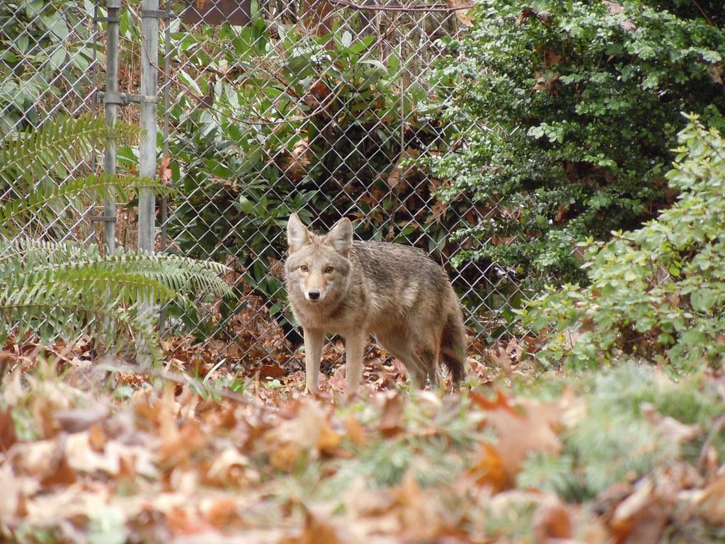 在波特蘭市出沒的郊狼。圖片來源:SoulRider.222(CC BY-NC-ND 2.0)