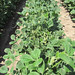 soybean - dicamba drift damage - cupping of leaves