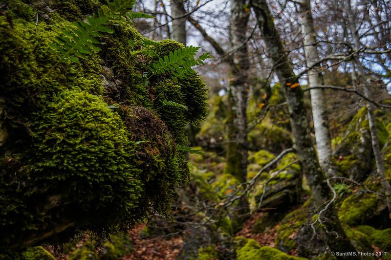Musgo y helechos cubriendo las rocas en el Bosque Encantado de Urbasa