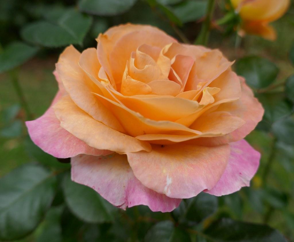 """Résultat de recherche d'images pour """"rose couleur automne dans jardin"""""""