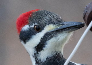 Female Pileated Woodpecker | by Laura Erickson