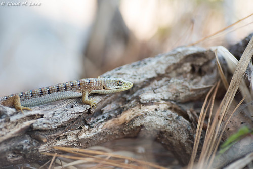 California Alligator Lizard (Elgaria multicarinata multicarinata) | by Chad M. Lane