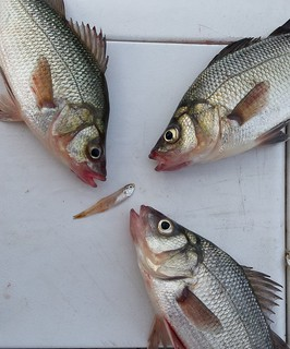 Photo of White Perch and bay anchovy