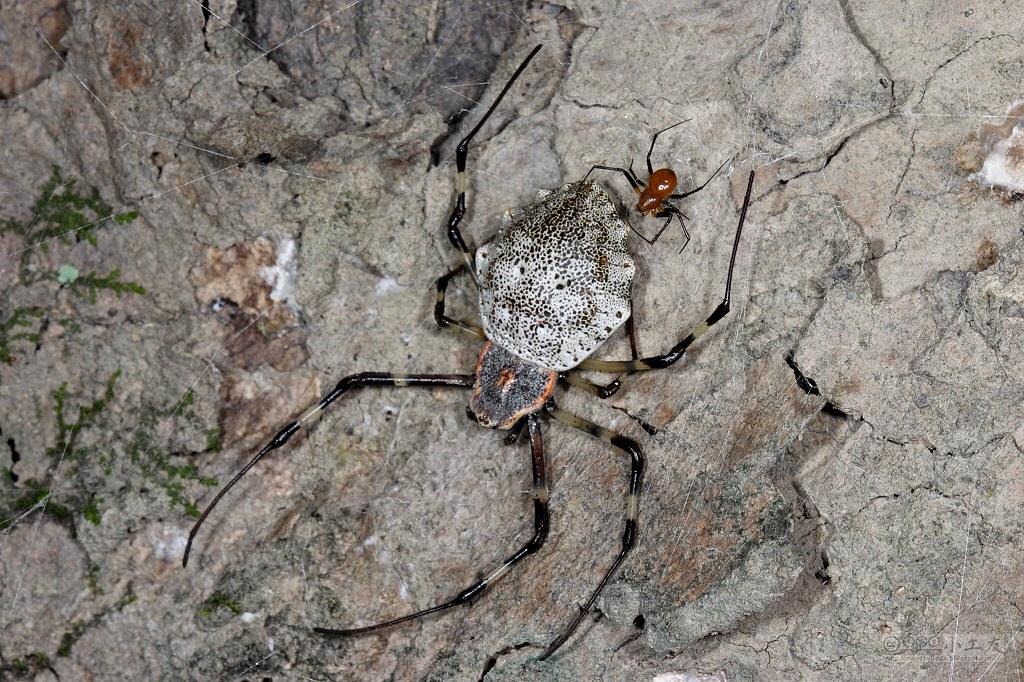 裂腹蛛的雄蛛與雌蛛體型及外型差異甚大;圖片來源:flickr  圖片所有人:小工友  (CC BY-NC-ND 2.0)