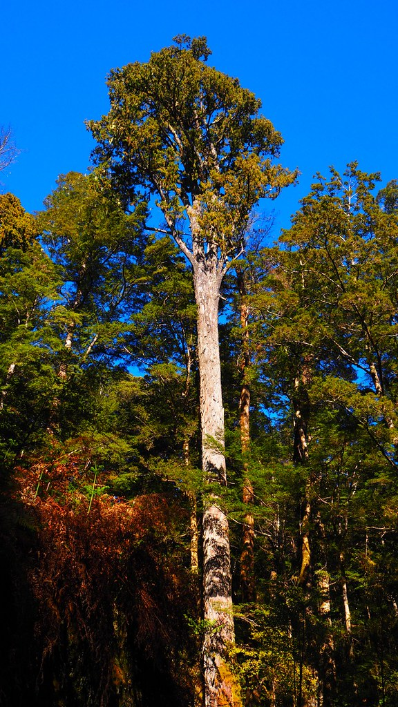 紐西蘭的原生針葉樹Rimu,對當地人來說別有意義。圖片來源:楊嘉君