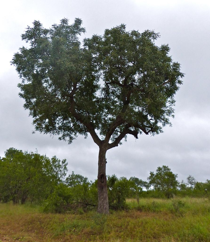 馬魯拉樹。圖片來源:Bernard DUPONT (CC BY-SA 2.0)。