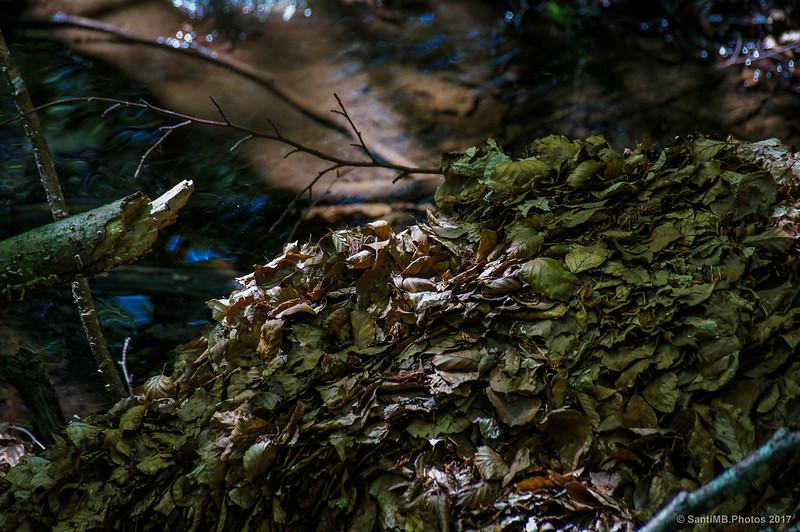Hojas de haya formando un dique en un torrente
