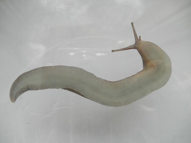 Limax cinereoniger foot