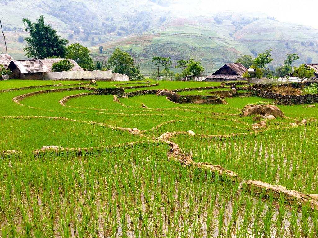 東南亞有許多地區都種植稻米為主食。圖片來源:Brian Jeffery Beggerly (CC BY 2.0)。
