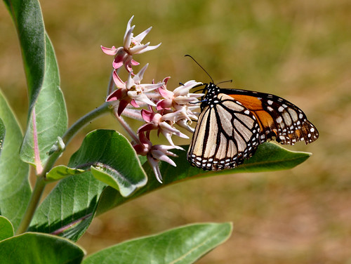 A monarch butterfly on milkweed