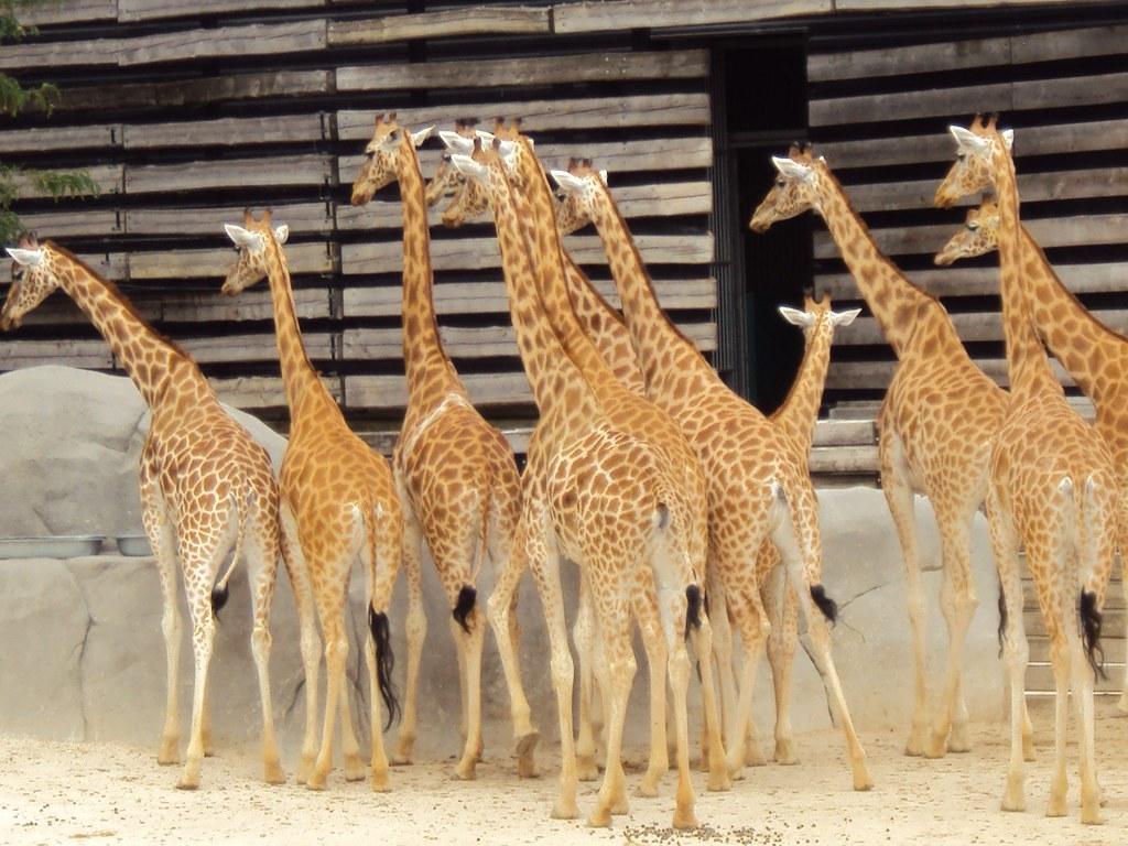科爾多凡長頸鹿,巴黎的動物園。圖片來源:Malcolm DJURIC 2017