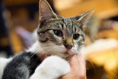 Violeta, gatita blanquiparda dulcísima y buena nacida en Junio´17, en adopción. Valencia. ADOPTADA. 37600836025_410e050fdb