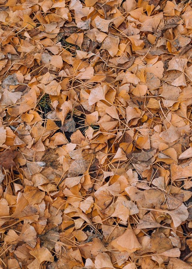 yellow ginko leaves in roath park pleasure gardens, cardiff