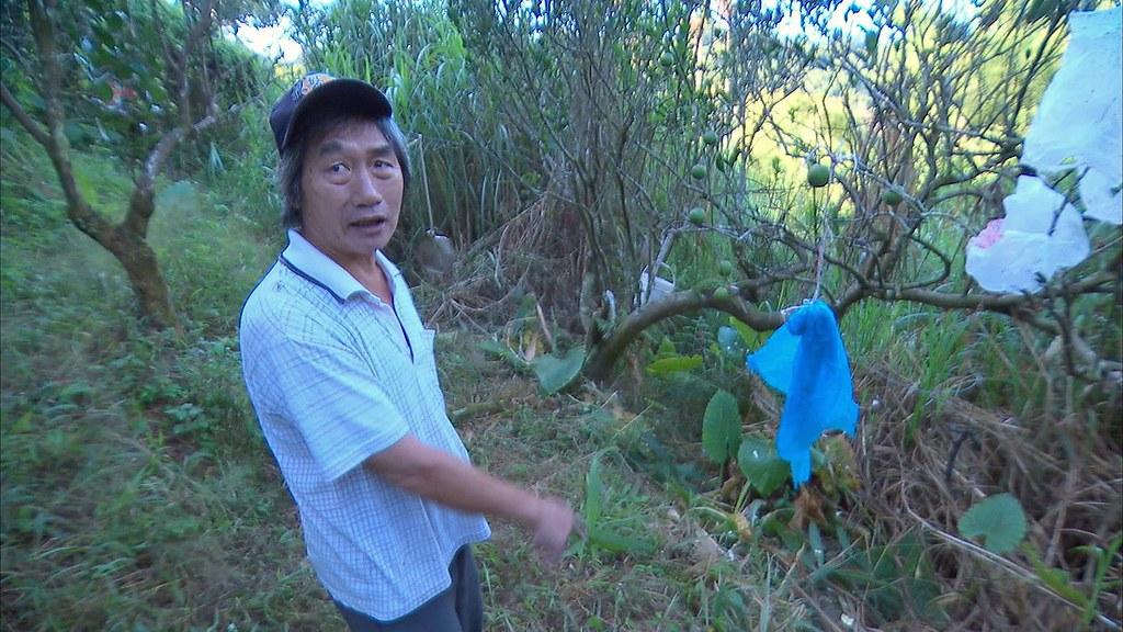 930-1-06柳石松望著果實零落的柳丁樹,不知道還要不要收成。