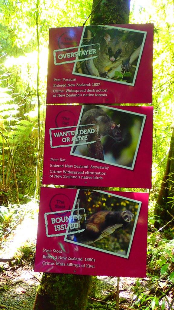 袋貂、老鼠跟白鼬,是紐西蘭入侵種的前3名通緝犯
