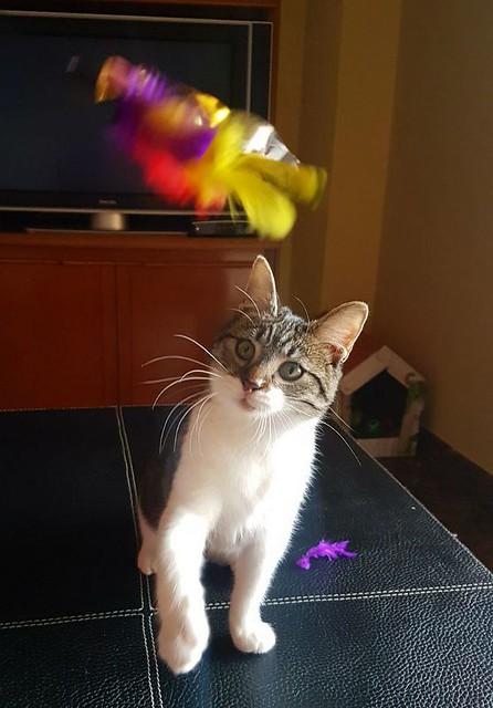 Violeta, gatita blanquiparda dulcísima y buena nacida en Junio´17, en adopción. Valencia. ADOPTADA. 25122506918_1084285bf0_z