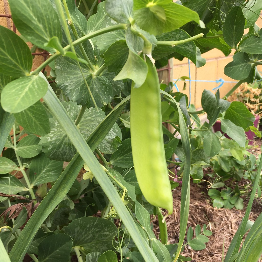 a perfect snow pea, growing on the plant