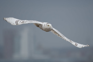 """Snowy Skyline"" (Snowy Owl) 