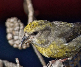 Red Crossbill (f) | by richmondbrian
